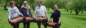 Volunteers help pick apples