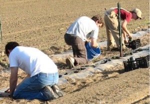 Planting Tomatoes in 2008
